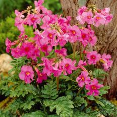 Plante anti-taupes 5 bulbes
