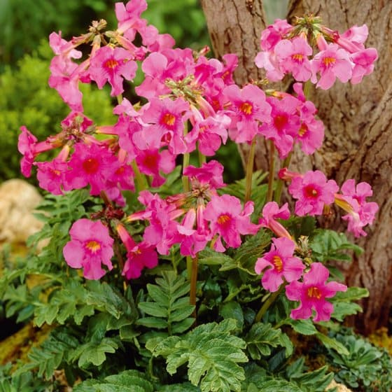 Plante anti-taupes 5 bulbes (Incarvillea)