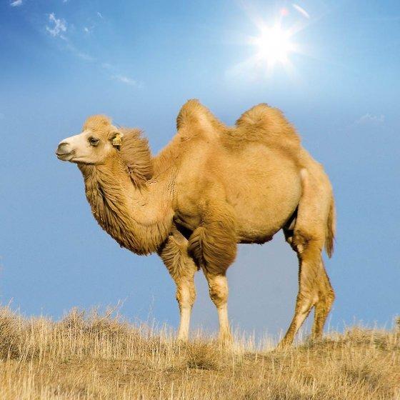 Couette poil de chameau édition d'été